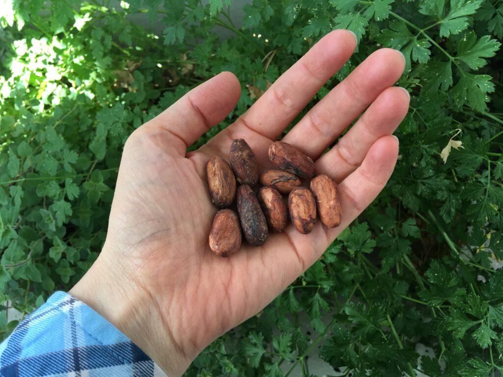 Kakaobohnen in meiner Hand