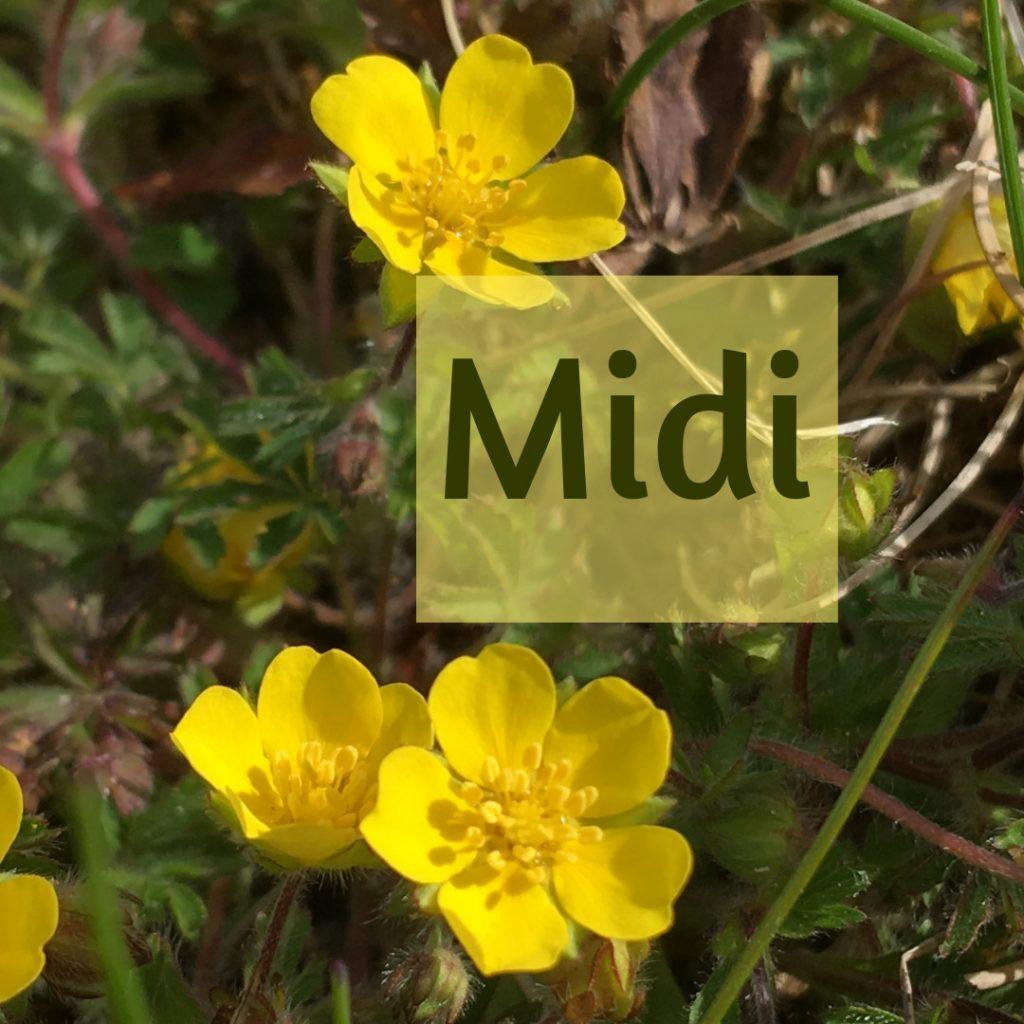 """3 gelbe Blüten. Text """"Midi"""""""