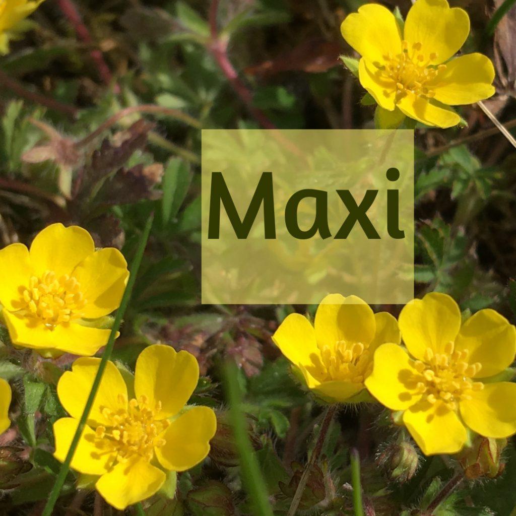 """5 gelbe Blüten. Text """"Maxi"""""""