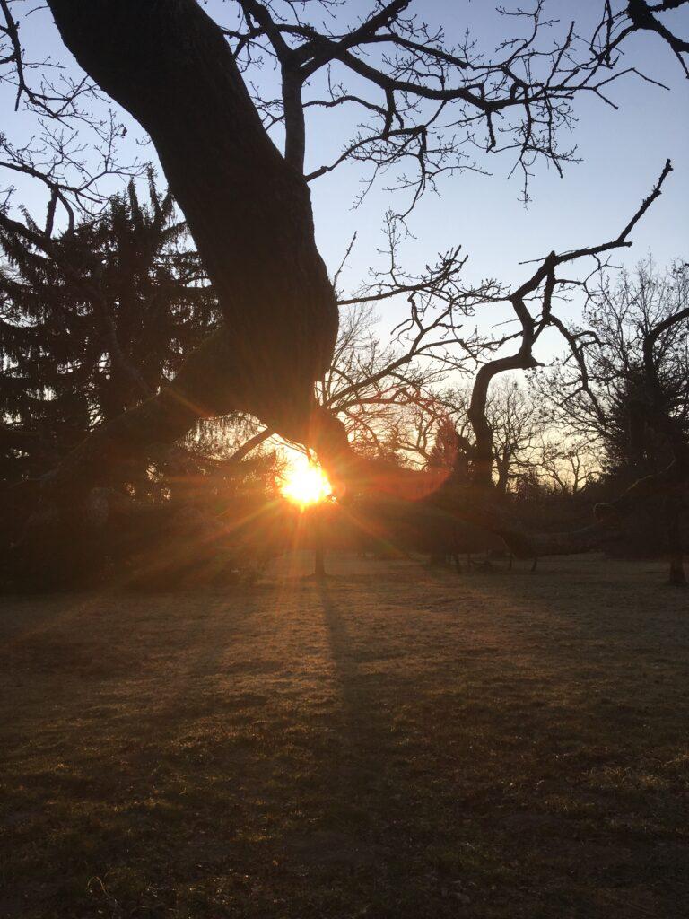 Alter Baum in der Morgendämmerung, hinter dem Ast die aufgehende Sonne